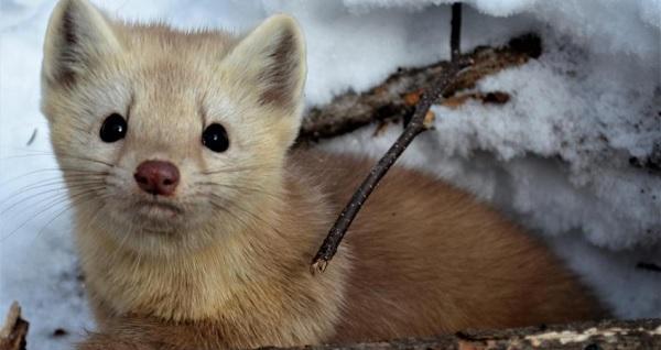 Рассказ охотника: воинствующий соболь или право на жизнь