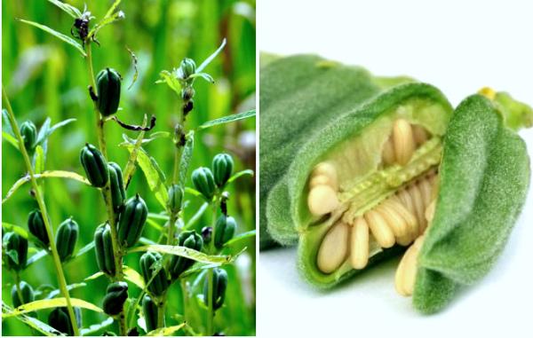Что такое кунжут: свойства, применение семян и масла