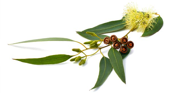 Листья эвкалипта: лечебные свойства и противопоказания