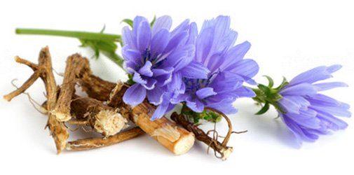 Цикорий: цветки и корень